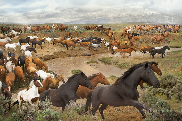 Herd of horses galloping across creek, away from the mountains and the impendingh storm