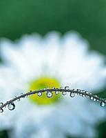 Shasta daisy reflected in drops of water. Near Alpine, Oregon