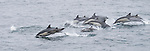 San Diego, California; a large pod of Long-beaked Common Dolphins (Delphinus capensus) leap out of the water while traveling across the surface of the Pacific Ocean