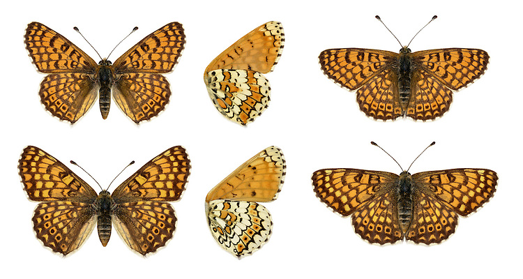 Glanville Fritillary - Melitaea cinxia - male (top row) - female (bottom row). Wingspan 40mm. A beautifully marked butterfly that is active only in sunshine; remains concealed in cover on overcast days. Adult has orange-brown upperwings; underwings are creamy-white and orange-buff. Flies May–June. Larva is black and bristly, with a red head; feeds gregariously on Sea Plantain. Very locally common on undercliffs on Isle of Wight and south Hampshire.