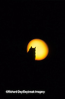 01116-03919 Great Horned Owl (Bubo virginianus)  silhouette at full moon   CO
