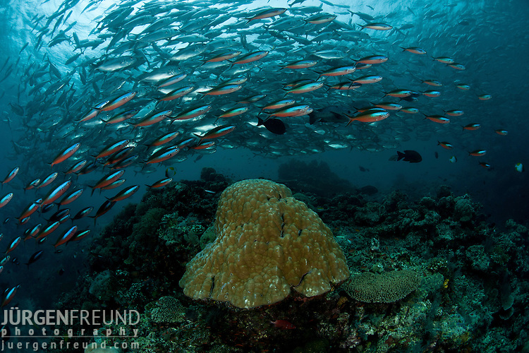 Red phase of a school of bluestreak fusiliers (Pterocaesio tile) and bigeye jacks or trevallies (Caranx sexfasciatus) in the background