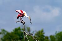Roseate Spoonbill bird, Platalea ajaja, on a tree in Bolivar Island, South of Texas, USA, North America