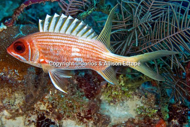 Holocentrus rufus, Longspine squirrelfish, Florida Keys