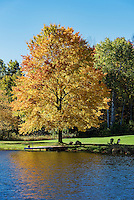 Golden autumn color maple tree on the edge of a quiet pond, Madison, New York, USA