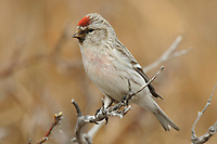 Adult male Hoary Redpoll (Carduelis hornemanni). Seward Peninsula, Alaska. May.
