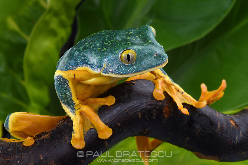 Splendid Leaf Tree Frog (Cruziohyla calcarifer)