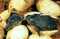 1R13-038z  Painted Turtles hatching from eggs..Chrysemys picta