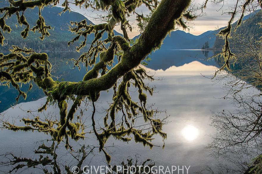 Bigleaf Maple, Olympic National Park, Washington