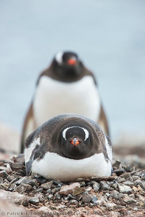 Gentoo penguin on nest, Port Lockroy, western Antarctic Peninsula.