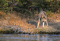 Wild Yellowstone wolf on stream bank