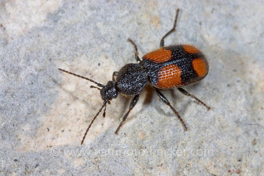 Zweifleck-Kreuzläufer, Kleiner Scheukäfer, Panagaeus bipustulatus, ground beetle