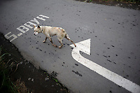 A dog passes road markings to direct traffic on an alternative route around the affected mud flow area, since the mud destroyed the main Surabaya-Malang toll road. Since May 2006, more than 10,000 people in the Porong subdistrict of Sidoarjo have been displaced by hot mud flowing from a natural gas well that was being drilled by the oil company Lapindo Brantas. The torrent of mud - up to 125,000 cubic metres per day - continued to flow three years later.