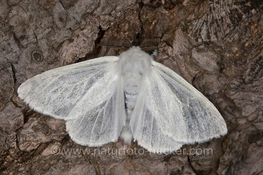 Pappelspinner, Pappel-Trägspinner, Pappel-Spinner, Atlasspinner, Atlas, Weidenspinner, Männchen, Leucoma salicis, Stilpnotia salicis, satin moth, White Satin Moth, Trägspinner, Lymantriidae