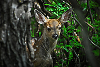 Fawn peeking through the bushes at Waterton International Peace Park Alberta Canada