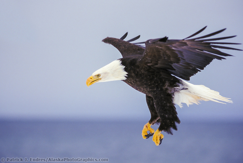 Bald eagle in flight in Homer, Alaska. Fish are the main diet of the Bald Eagle.