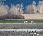 Spring Migration of Tundra Swans (cygnus columbianus) with Canada geese (Branta canadensis) in Kootenai National Wildlife Refuge wetlands Bonners Ferry, Idaho