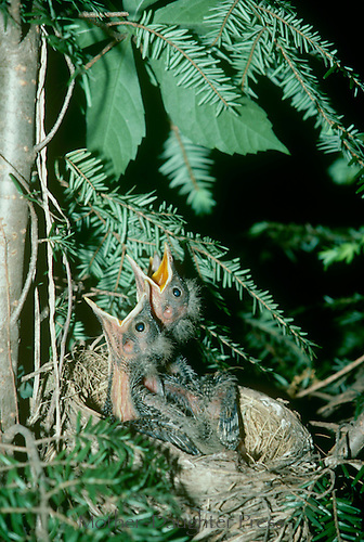 Two American Robin nestlings prepared for feeding, mouths wide open