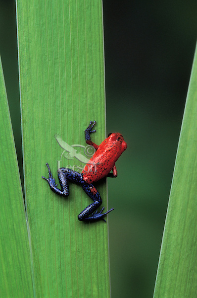 STRAWBERRY POISON FROG..Native to Nicaragua, Costa Rica & Panama..Captive. (Dendrobates pumilio).