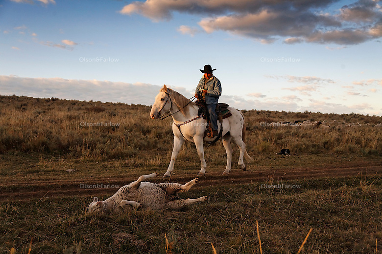 Edgar Oscanoa rides Dot trailing sheep in Upper Gully with the help of border collies and Pyranees guard dogs.  He stops to upright a sheep that was stuck in the road rut on its back. <br /> <br /> Sharon O'Toole drove her granddaughter Siobhan Lolly and father George Salisbury around the Ladder Livestock Ranch in southern Wyoming (west of Bags at the Colorado border.) Peruvian shepherds traditionally work at the ranch watching over sheep.  Dot, an adopted mustang that came from the correctional center in Riverside, saved a shepherd's life by finding his way home on a cold night when they were lost.  Nelson, the saved worker, left years ago but the horse is still a favorite among ranch hands like Edgar.
