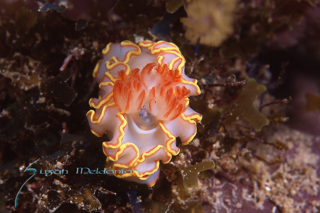 Red tipped Sea Goddess, Doriprismatica sedna, nudibranch, Chromidoradidae, Blue Heron Bride, also Florida Keys