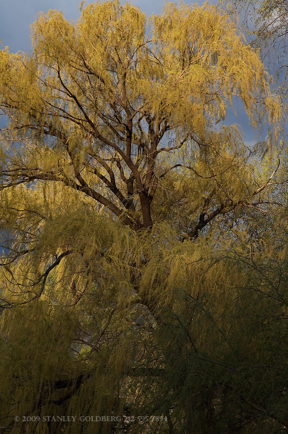 Weeping Willow, Early Spring, Central Park