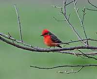 Courtesy photo/TERRY STANFILL<br /> RARE BIRD<br /> A vermillion fly catcher rests on a branch at Siloam Springs Lake on March 22. The bird's normal range in south Texas and this is believed to be only the third sighting of a vermillion fly catcher in Northwest Arkansas, said Joe Neal with the Northwest Arkansas Audubon Society.