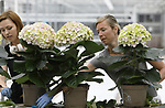 Foto: VidiPhoto<br />  <br /> MAASDIJK &ndash; Medewerkers van hortensiakwekerij Sjaak van Schie uit Maasdijk komen maandag handen te kort. Aanstaande zondag is het Moederdag in bijna heel Europa en dat betekent topdrukte. Deze week verlaat een recordaantal van 250.000 hortensia&rsquo;s de kwekerij richting tuincentra en bloemisten in binnen- en buitenland. Dat is 30 procent meer dan in 2016. Er blijkt dit jaar vooral veel vraag naar roze en tweekleurige hortensia&rsquo;s. Ook rozen en orchidee&euml;n zijn dit jaar onverminderd populair. Naar schatting ontvangt &eacute;&eacute;n op de vier moeders in Europa een bloemen- of plantencadeau. De Fransen vieren 28 mei Moederdag, de Britten deden dat op 26 maart. Nederlandse kwekers produceren ruim 33 miljoen hortensia&rsquo;s. Met zo&rsquo;n 40 procent is Duitsland het belangrijkst exportland. Van Schie is een van de grootste hortensiakwekers van ons land.