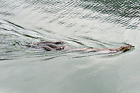 Northern River Otter (Lontra canadensis) mom swims in lake with here three pups.  Western U.S., summer..