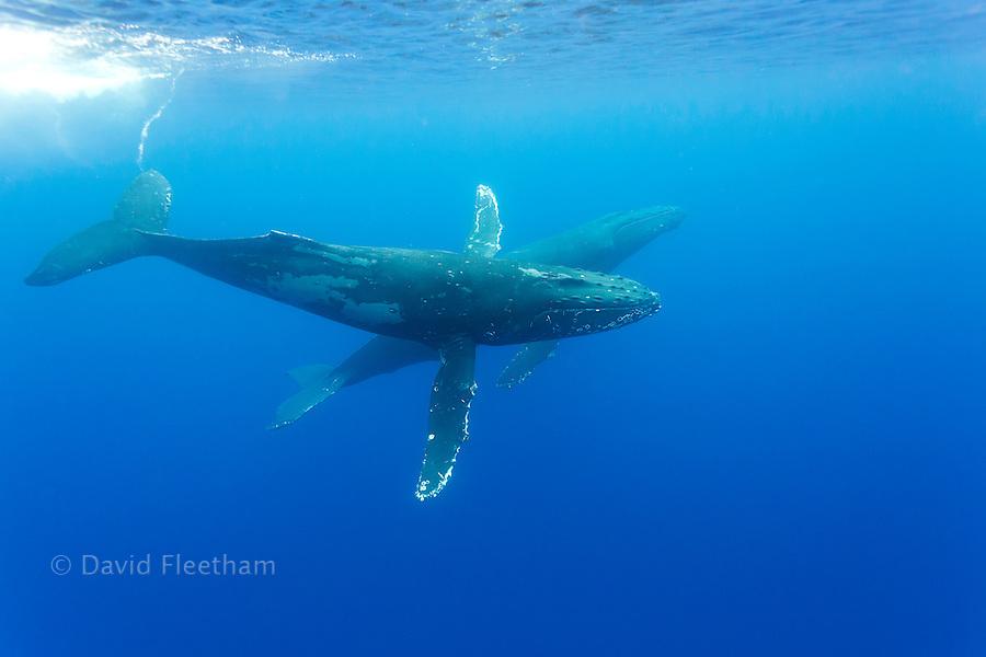 Humpback whales, Megaptera novaeangliae, Hawaii.