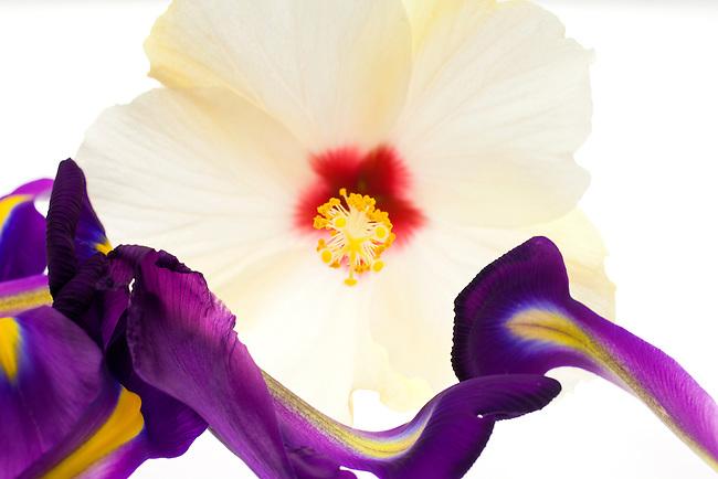 A hibiscus flower rides a wave of iris petals.