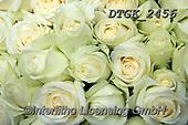 Gisela, FLOWERS, BLUMEN, FLORES, photos+++++,DTGK2456,#f#, EVERYDAY ,roses