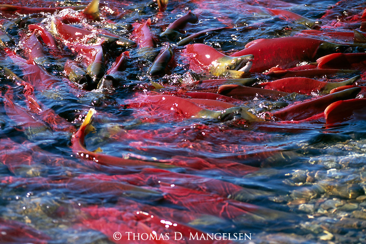 A sockeye salmon swimming in Funnel Creek on the Alaska Peninsula.