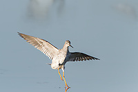Lesser Yellowlegs taking off from water