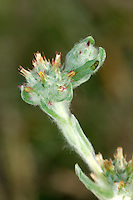 RED-TIPPED CUDWEED Filago lutescens (Asteraceae) Height to 25cm. Similar to Common Cudweed but plant has a yellow-woolly coating. Grows on disturbed, sandy soils. FLOWERS are borne in rounded, woolly clusters, 8-10mm across, of 10-20 heads; each head has red-tipped bract tips (Jul-Aug). FRUITS are achenes. LEAVES are sharp-pointed and not wavy. STATUS-Rare and restricted to a few sites in SE England.