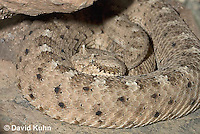 0518-1104  Sidewinder Rattlesnake (Horned Rattlesnake), Crotalus cerastes  © David Kuhn/Dwight Kuhn Photography
