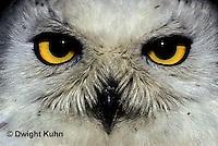 OW16-006a  Snowy owl - close up of face - Nyctea scandiaca