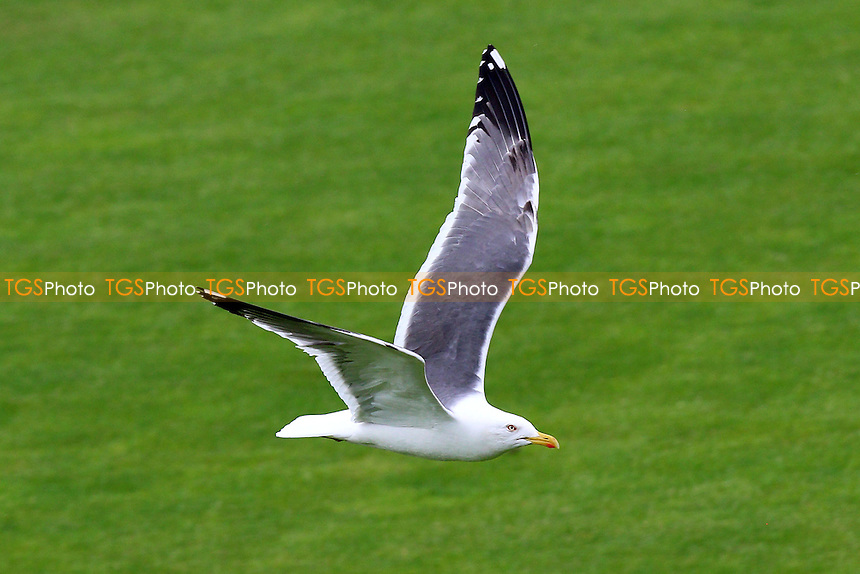 A seagull flies over the ground during Glamorgan CCC vs Essex CCC, Specsavers County Championship Division 2 Cricket at the SSE SWALEC Stadium on 23rd May 2016