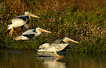 White Pelicans, Sunset Landing, American White Pelican, Sepulveda Wildlife Refuge, Southern California