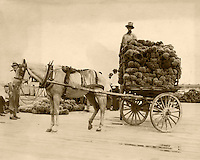 The sponge docks with a horse cart loaded with sponges in the 1930s. Heritage House Collection,Campbell, Poirier and Pound.