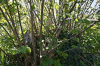 Haselrute, Haselruten, Stockausschlag, Gewöhnliche Hasel, Haselnuß, Haselnuss, Corylus avellana, Cob, Hazel, snow, Coudrier, Noisetier commun. Hecke, Knick, Knicks, Knicklandschaft, Heckenlandschaft, geschnittene Hecke schlägt wieder aus, Hedge