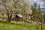 Idaho, North Central, Idaho County, Grangeville, Whitebird. A barn sits on a hillside with a blossoming fruit tree in spring.