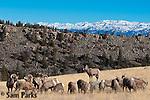Bighorn sheep herd during the rut. Wind River Range, Wyoming.
