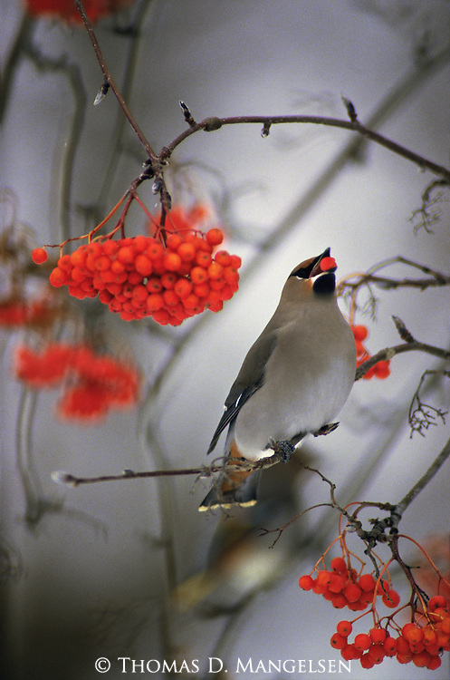 A Bohemian Waxwing perches in a Mountain Ash in Montana.