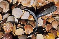 Europe/France/Bretagne/29/Finistère/Léon/Roscoff: Patrick Labloche, marin pécheur,  vend sa pêche sur le port - Détail pétoncles