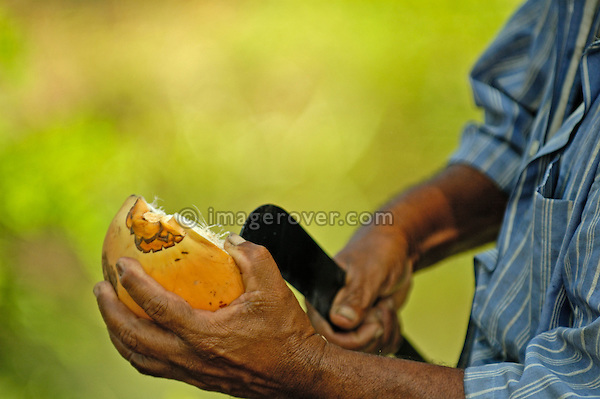 Strong hands opening a coconut with a large slasher (knife), Backwaters, Kerala. No releases available.