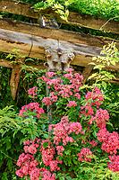 France, Loiret (45), Chilleurs-aux-Bois, château de Chamerolles et jardins de style renaissance, longue et haute pergola couverte de rosiers grimpants, rosiers lianes, glycines, vignes, ici, rosier 'Maria Lisa'