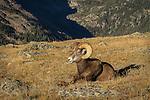 Bighorn Sheep ram at rest
