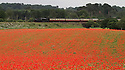 12/06/2012 ..A steam train on the Severn Valley Railway passes acres of poppies in fields near Bewdley in Worcestershire. ..All Rights Reserved - F Stop Press.  www.fstoppress.com. Tel: +44 (0)1335 300098.Copyrighted Image. Fees charged will reflect previously agreed terms or space rates for individual publications, states or country.