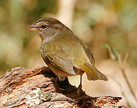 Adult olive sparrow